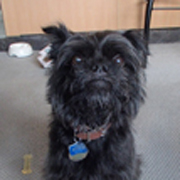 George is  about six years old ,neutered, current on vaccinations and heartworm preventative. He is  very well behaved. He walks on a leash very well.  Loves people.  He is housebroken and crate trained.  He has been trained to use a pet door. He was rescued and   adopted five years ago and had been living a happy life and being well taken care of. Unfortunately his   adopter became   seriously ill   and could not take care of him.  George is  now living with a foster family in North Texas.  His foster says he is extremely social, has never met a stranger, has interacted well with other dogs  which includes trips to the dog park.  He warms up to humans instantly, is a quick learner   which is helped by his love of food! His foster family has two dogs and George gets along well with them.  Because of his love of food he needs to eat separately from other dogs.  He loves to be with people and needs an adopter who can give him lots of attention.